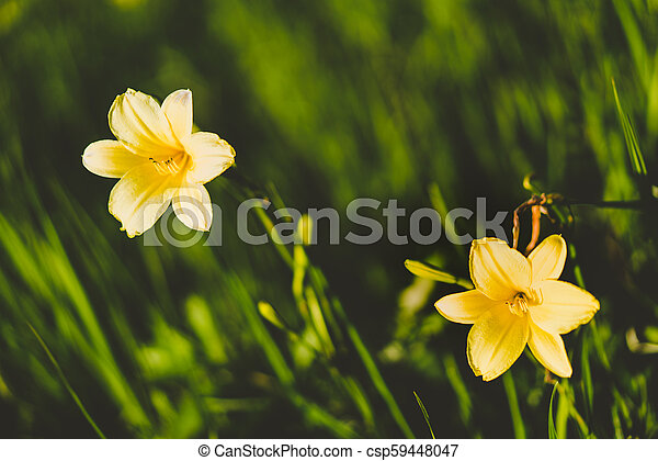 Yellow Siberian lily in a meadow - csp59448047