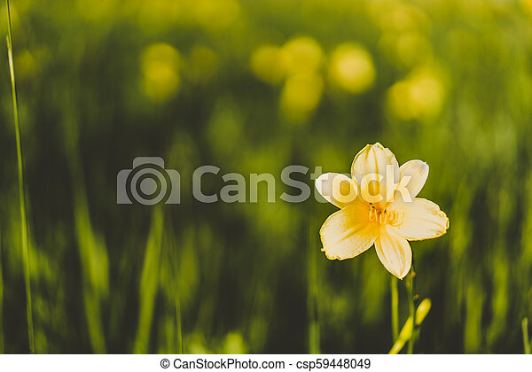 Yellow Siberian lily in a meadow - csp59448049