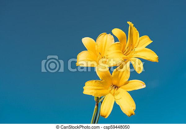 Yellow Siberian lily - csp59448050