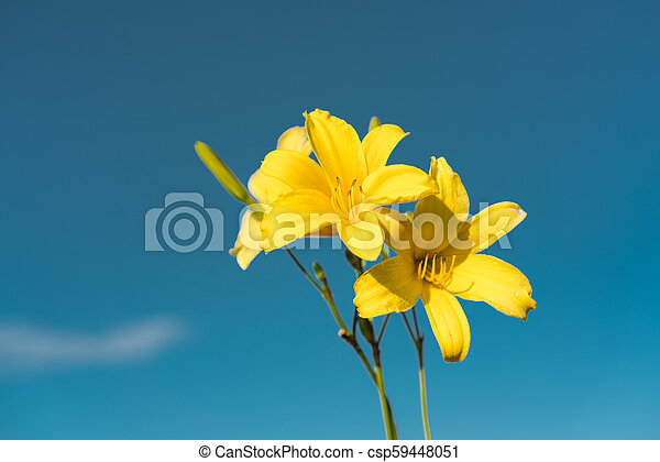 Yellow Siberian lily - csp59448051