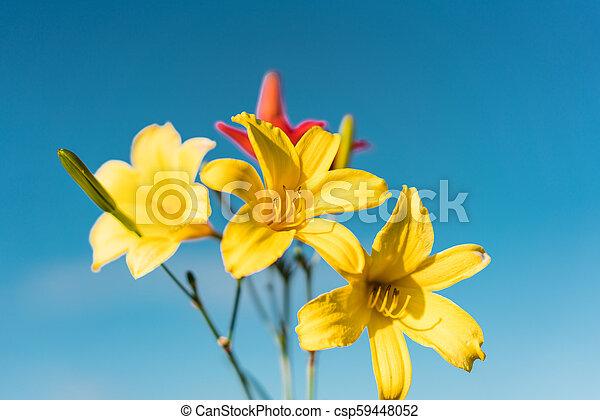 Yellow Siberian lily - csp59448052