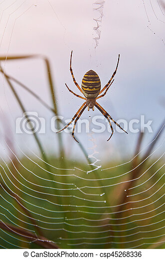 Yellow Striped Spider Sit On Web Closeup Macro Of Poison Spider