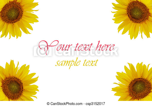 Yellow sunflowers isolated on white background - csp3152017