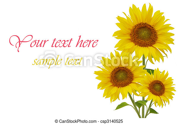 Yellow sunflowers isolated on white background - csp3140525