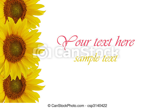 Yellow sunflowers isolated on white background - csp3140422