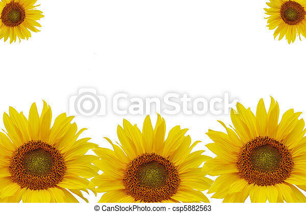 Yellow sunflowers isolated on white background - csp5882563