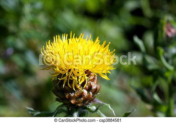 Yellow thistle flower cirsium horridulum in morning light stock yellow thistle flower csp3884581 mightylinksfo