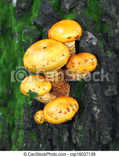 Yellow toadstool mushrooms on a tree - csp16037139