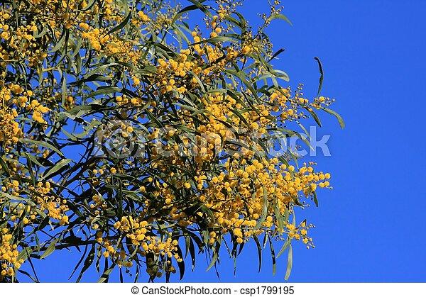 Yellow tree flowers yellow blooms of the wattle tree against blue sky yellow tree flowers csp1799195 mightylinksfo