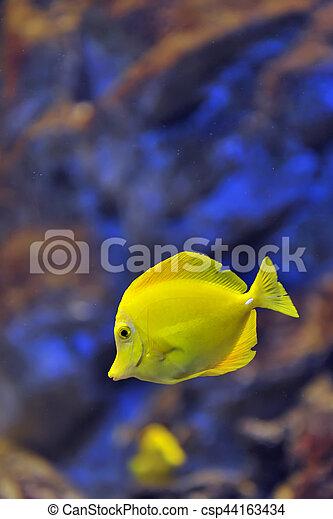 yellow tropical fish - csp44163434