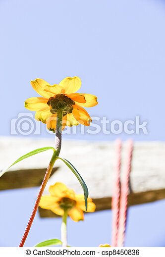 Yellow tropical flower and blue sky - csp8450836
