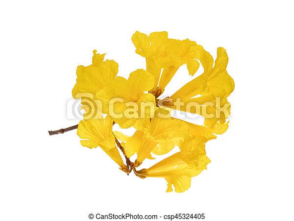 Yellow trumpet flowers isolated on white background stock yellow trumpet flowers isolated on white background csp45324405 mightylinksfo