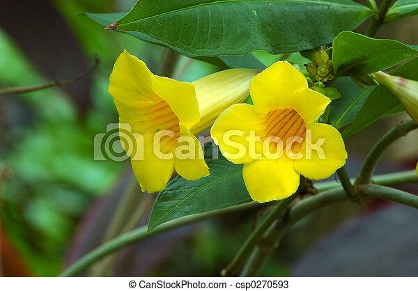 Yellow Trumpet Vine Bignoniaceae Campsis Radicans Flava