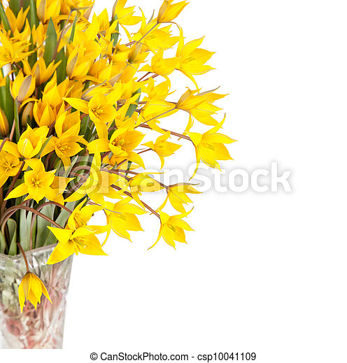yellow tulip flowers in glass vase isolated on white background  - csp10041109