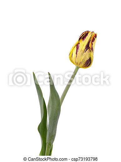 Yellow tulip isolated on white background. Spring Flower. - csp73193798