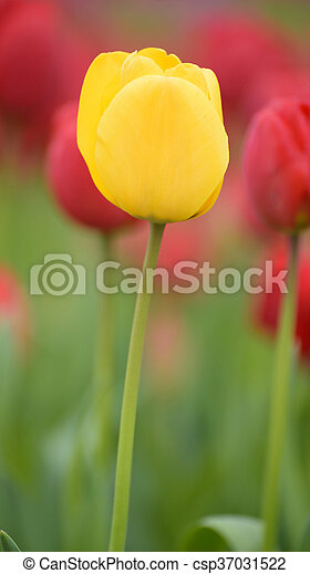 Yellow tulips. Colorful tulips in spring season - csp37031522
