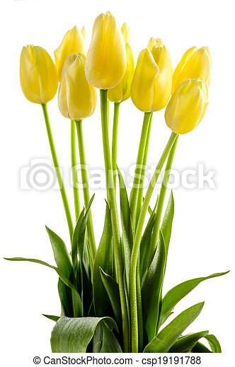 Yellow tulips flowers with long stalk - csp19191788