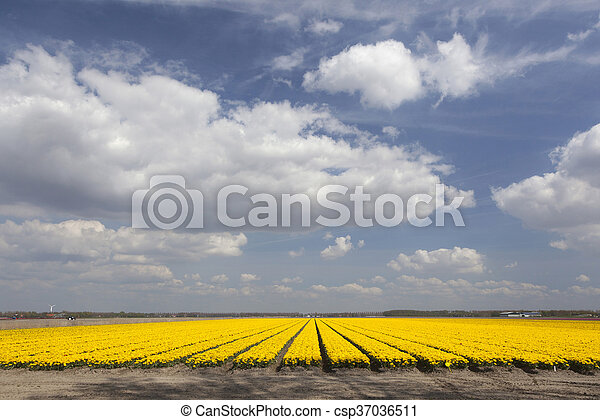 yellow tulips in dutch flower field and blue sky with clouds - csp37036511