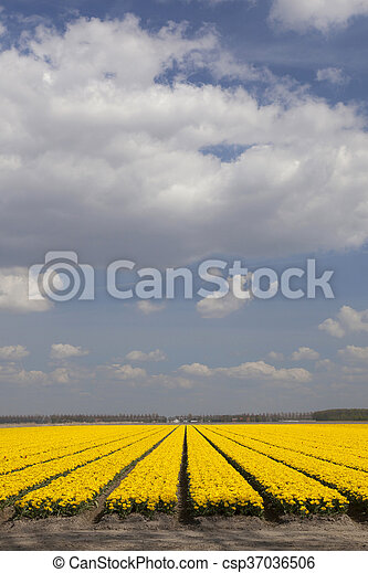 yellow tulips in dutch flower field and blue sky with clouds - csp37036506