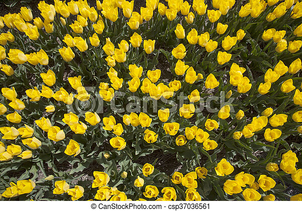 yellow tulips in dutch flower field seen from above - csp37036561