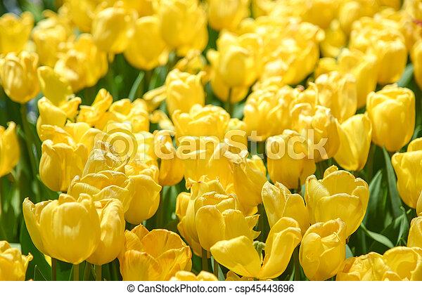 Yellow tulips in the garden - csp45443696