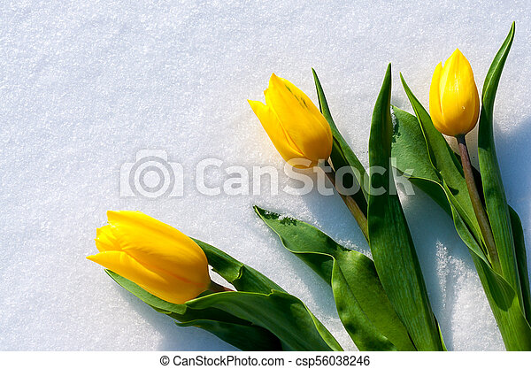 yellow tulips lie on the snow - csp56038246