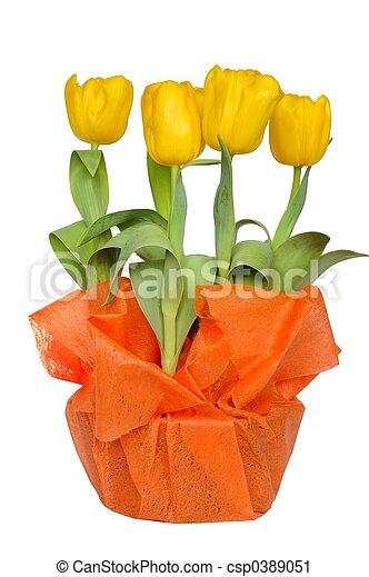 Yellow Tulips - csp0389051