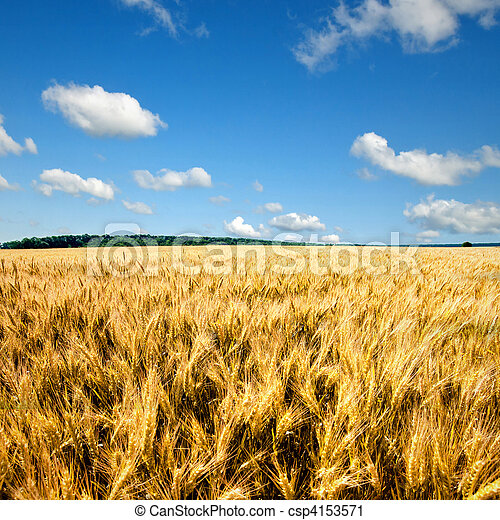 yellow wheat field against blue sky and clouds - csp4153571
