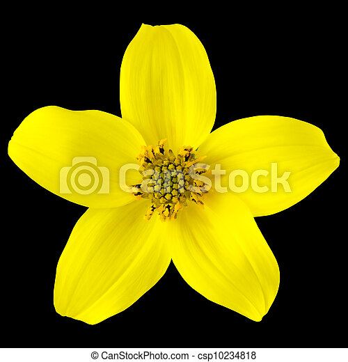 Yellow wild flower with five petals isolated on black background yellow wild flower with five petals isolated on black csp10234818 mightylinksfo
