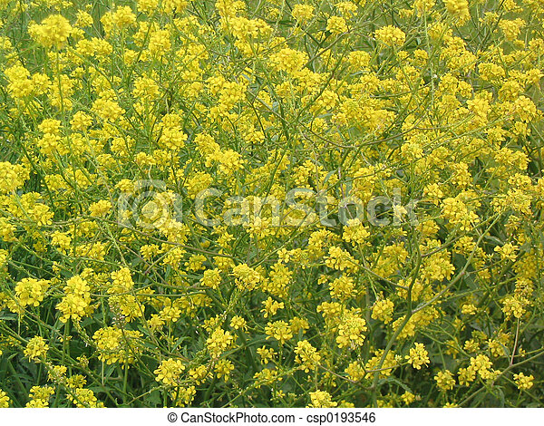 Yellow wildflowers a dense field of lacy yellow wildflowers in yellow wildflowers csp0193546 mightylinksfo