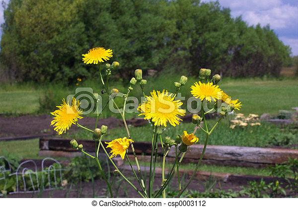 Yellow wildflowers - csp0003112