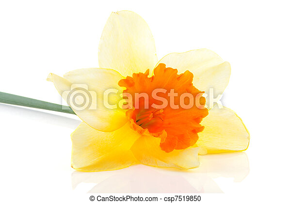 Yellow with orange daffodil flower  - csp7519850