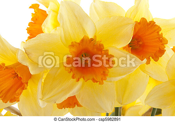 Yellow with orange daffodil flowers - csp5982891