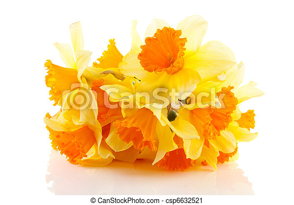Yellow with orange daffodil flowers  - csp6632521