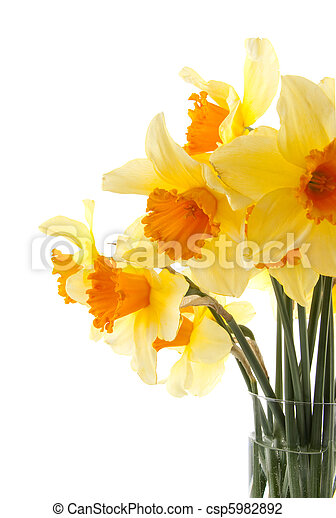 Yellow with orange daffodil flowers - csp5982892