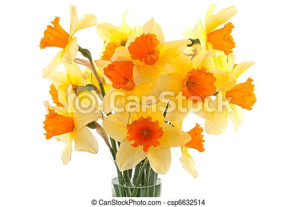 Yellow with orange daffodil flowers - csp6632514