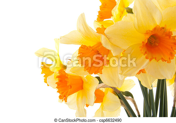 Yellow with orange daffodil flowers - csp6632490