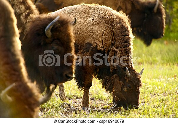 Yellowstone American Bison - csp16940079