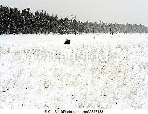 Yellowstone American Bison - csp33876188