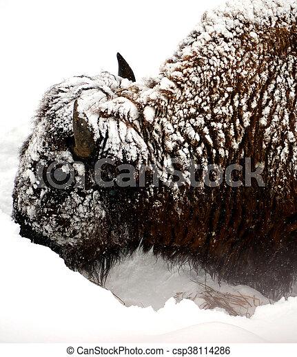Yellowstone American Bison - csp38114286