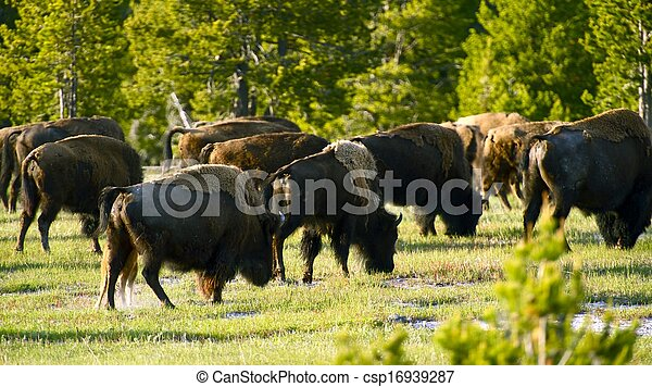 yellowstone, bisons - csp16939287