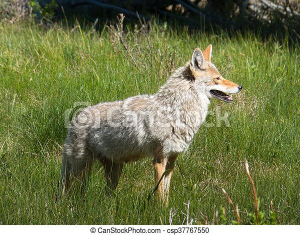 Yellowstone Coyote - csp37767550