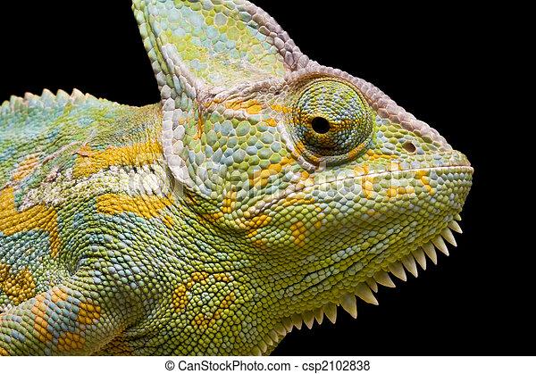 Yemen/Veiled Chameleon - csp2102838