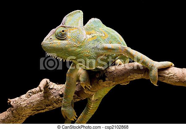 Yemen/Veiled Chameleon - csp2102868