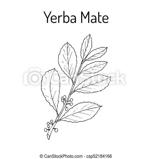 Yerba Mate Plant Clip Art Vector And Illustration 108 Yerba