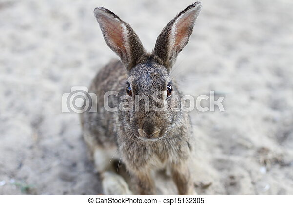 yeux, long, vif, lapin, sauvage, oreilles - csp15132305