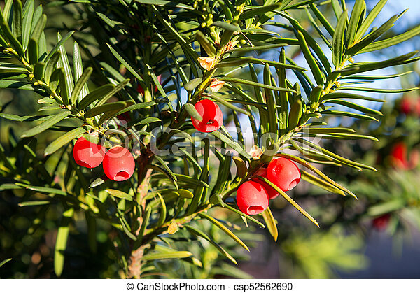 Yew Tree With Red Fruits Taxus Baccata