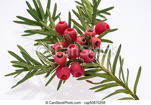 Yew twig with fruits isolated on white background - csp50870258