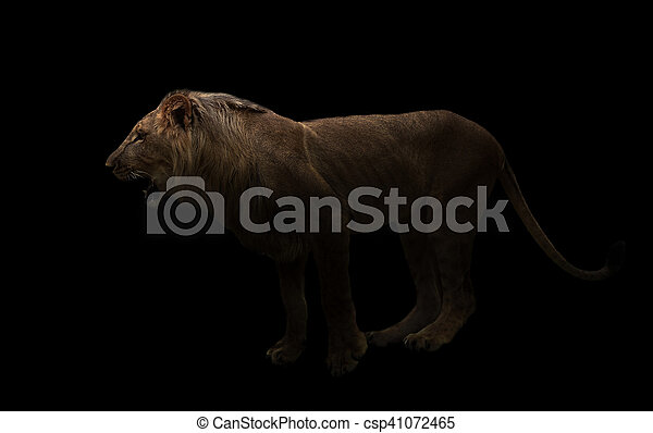 yong male lion in the dark - csp41072465