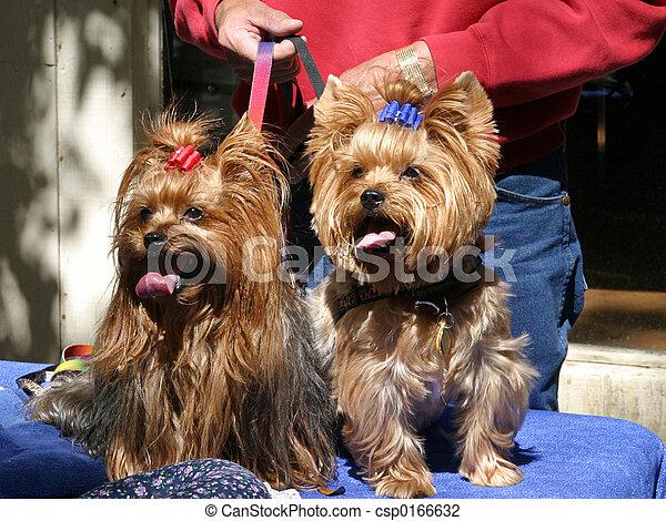 Yorkie Twins - csp0166632